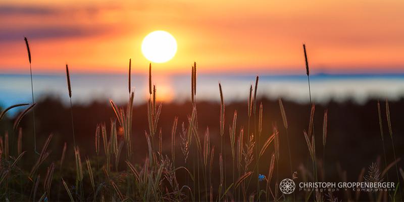 cornflowers at sunset